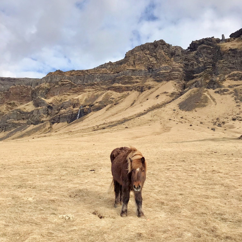 Iceland Guide Icelandic Horse