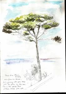 Santa_Marinella_stone_pine017
