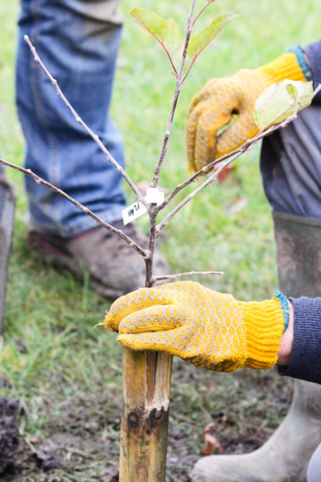 #Townhead_Orchard_Planting-13
