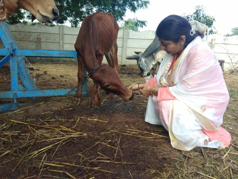 प्रेरणामूर्ति भारती श्रीजी का गाय प्रेम ! सुबह से शाम तक सड़कों पर भूखी प्यासी गायों को अपने हाथों से गोग्रास लड्डू खिलाकर करते रहे सेवा, देखें वीडियो व तस्वीरें