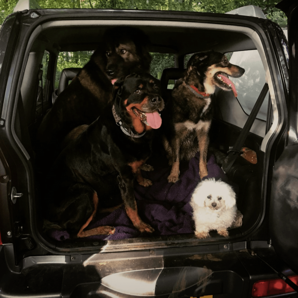 This is a picture of Joss Stones pets in the back of her car. There are four dogs the smallest of which recently passed away.