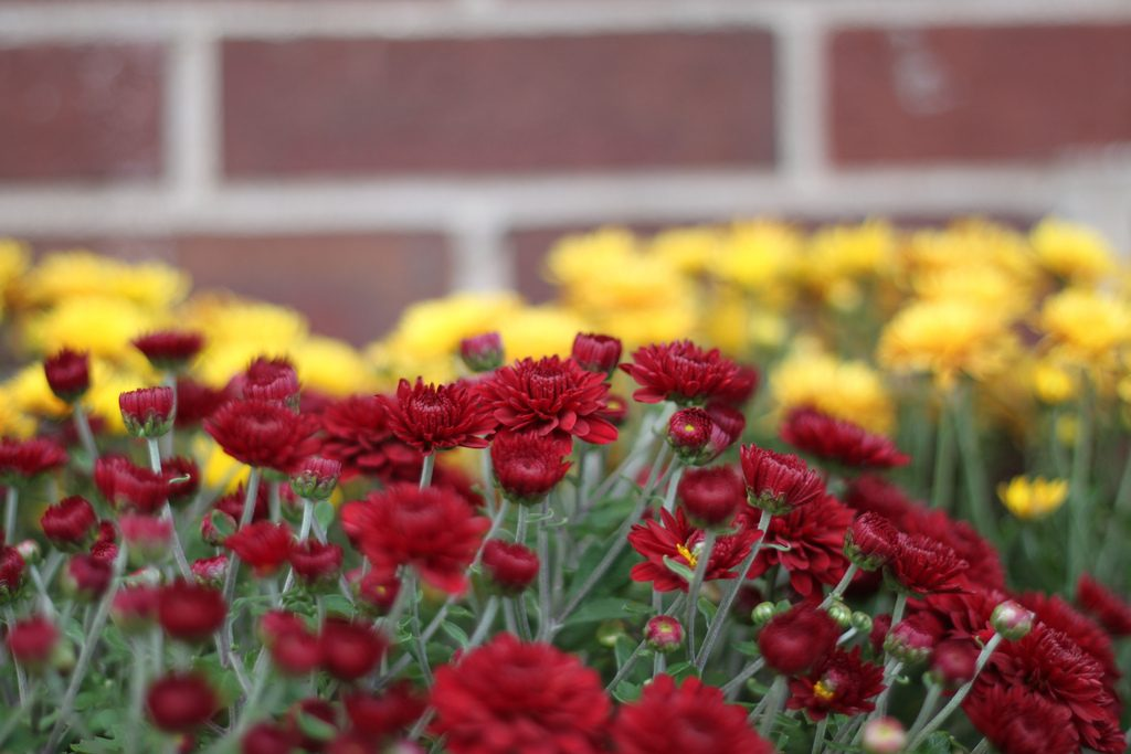 Beautiful red and yellow cloves in a garden.