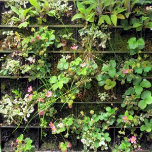 Strawberry flowers in a vertical garden.