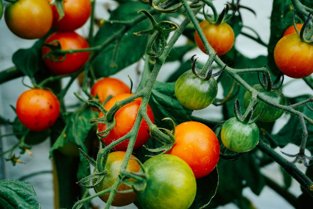 delicious tomatoes in a garden
