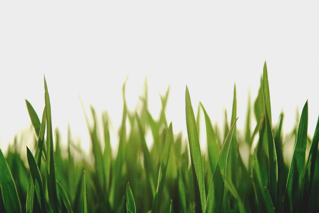 fresh green grass and a white background