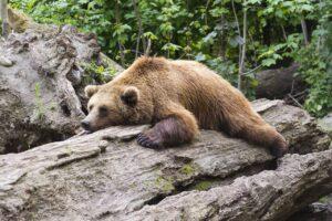 Bear lying tired on a log