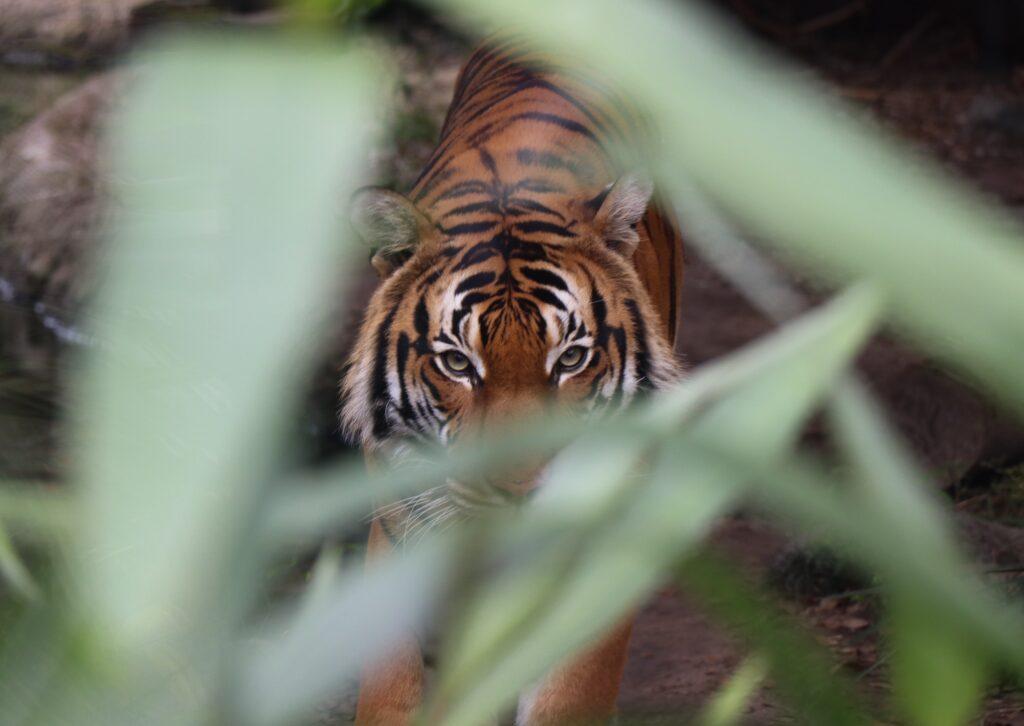 Tiger gazes through grass.