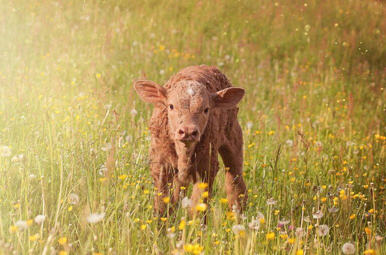 cow, calf, young animal
