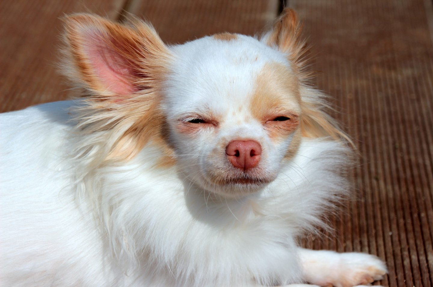Why you in charge means happy chihuahua
