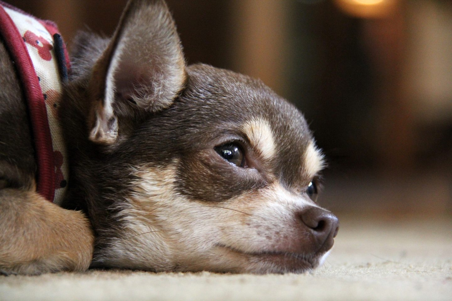 Chihuahua Rescue.  Could You Re-Home a Chihuahua?