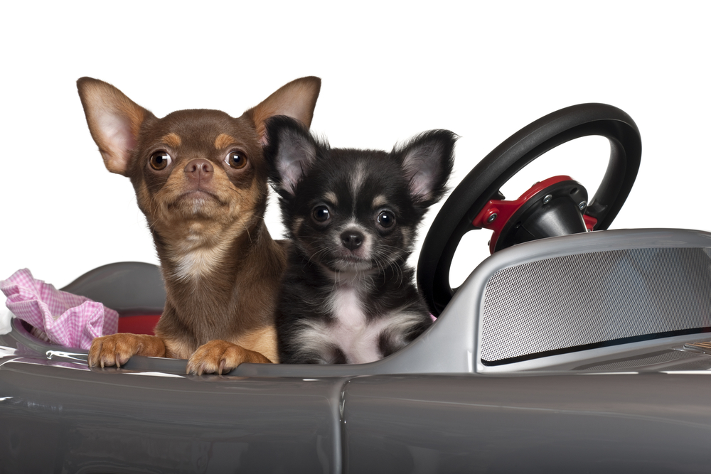 Does your chihuahua get car sick?