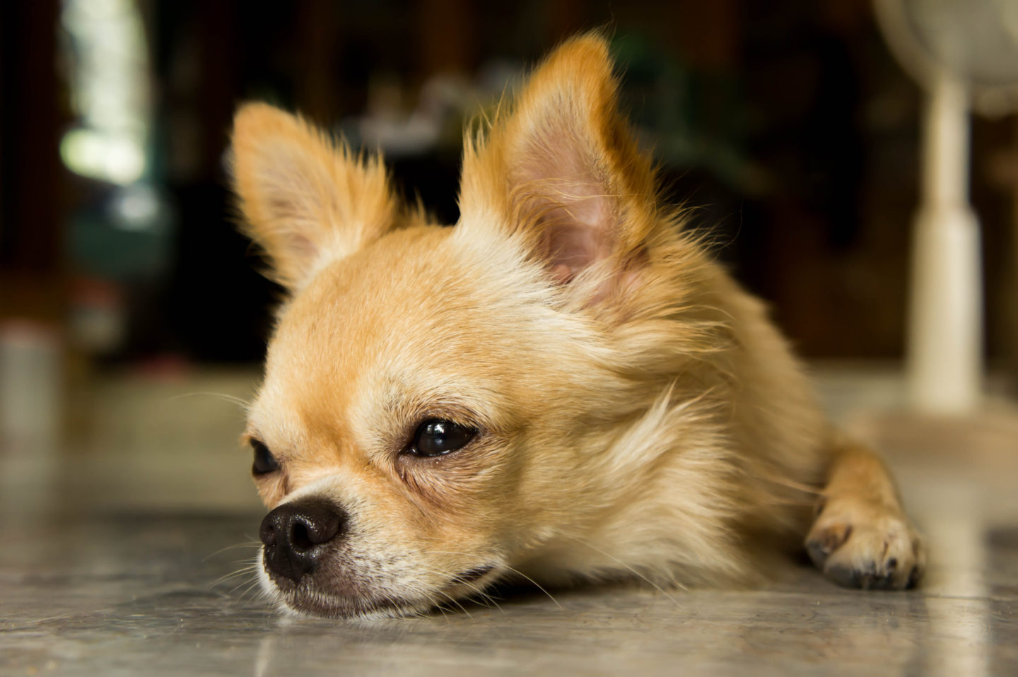 Body language signs that your chihuahua is unhappy and may bite