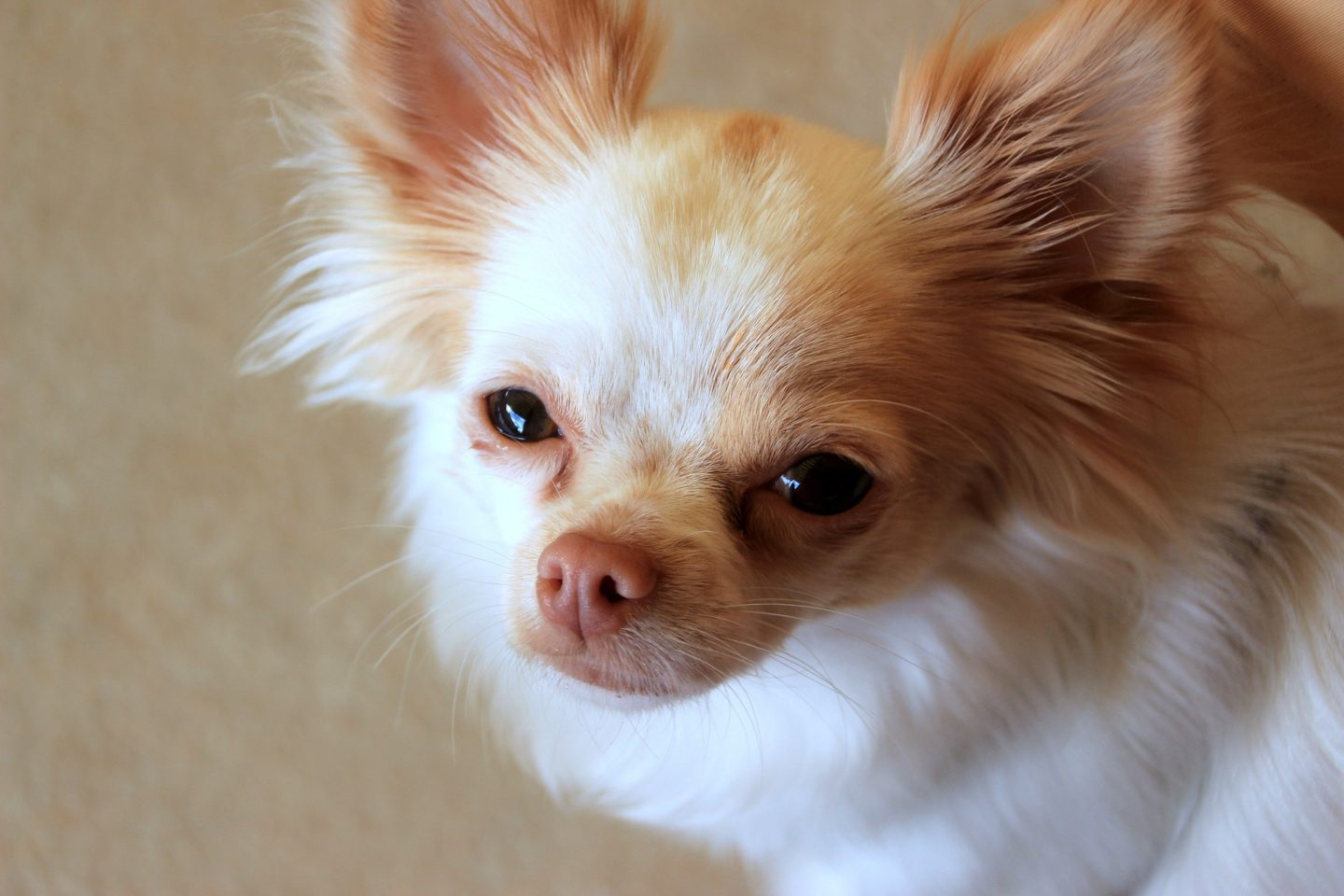 5 Reasons Your Chihuahua Drags His Bottom Across The Floor