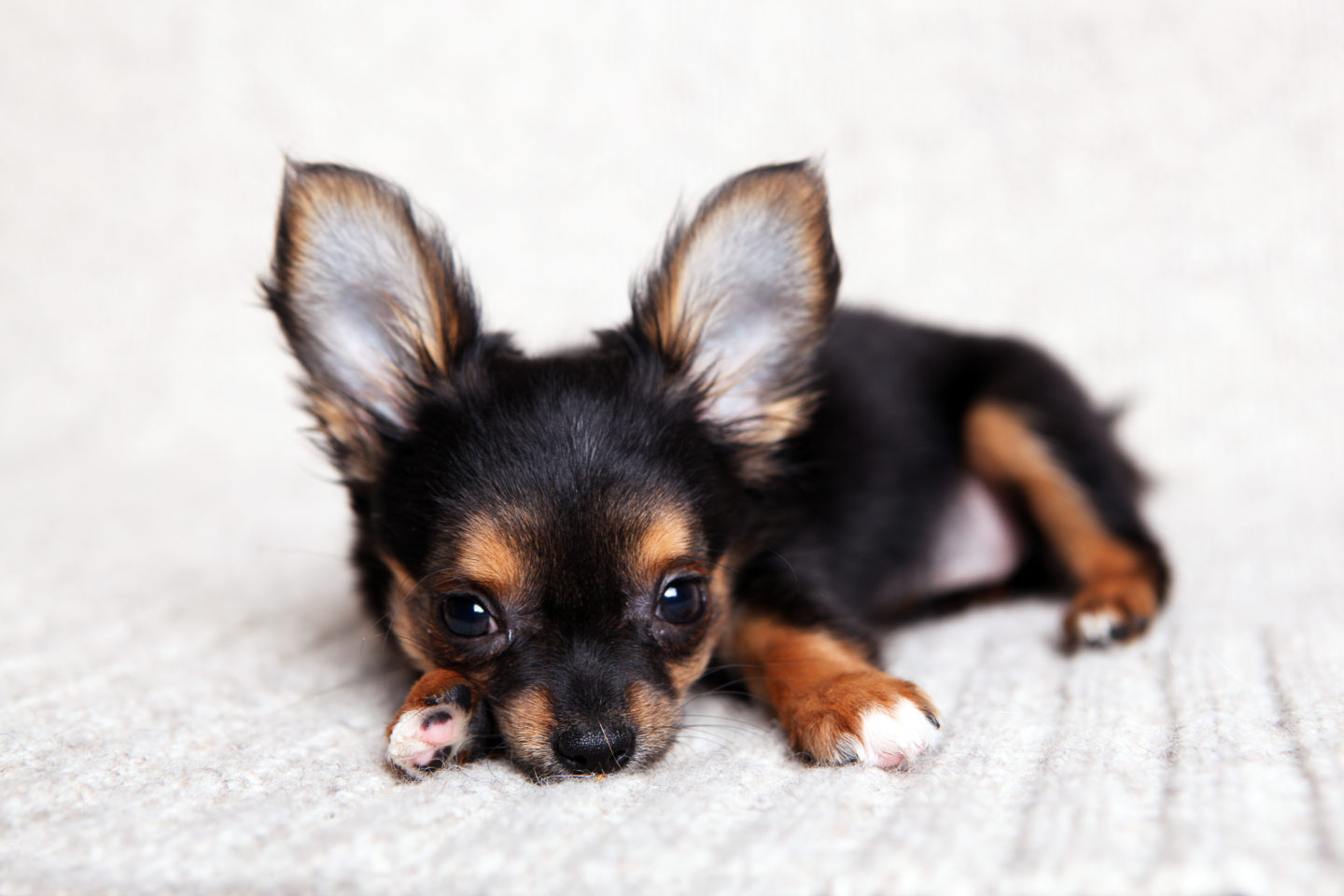 Toilet Training Trials: How To Toilet Train Your Chihuahua
