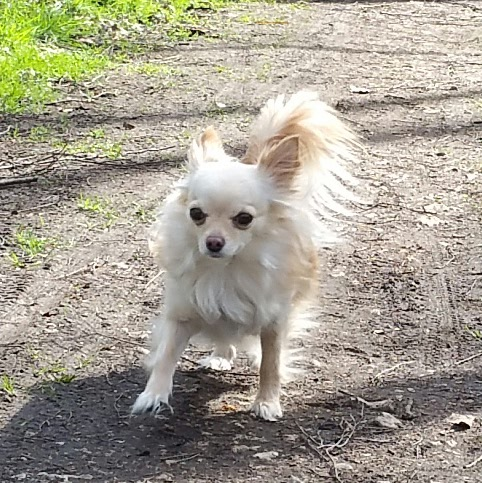 Chihuahua fear biting: Why do they do it and how can you stop it.