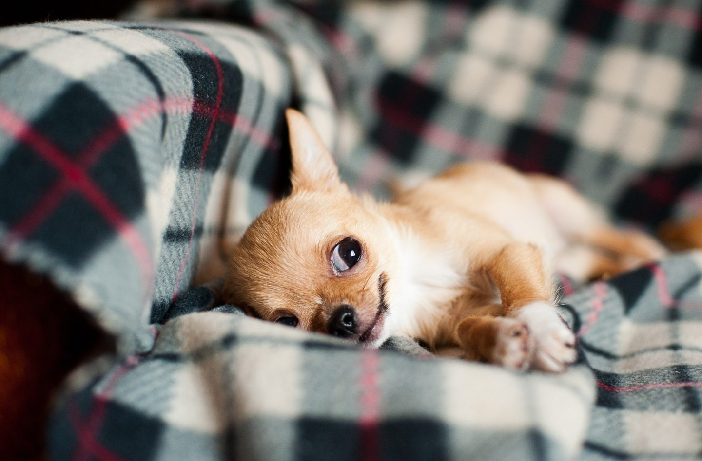 Your tiny chihuahua: Health problems to watch out for