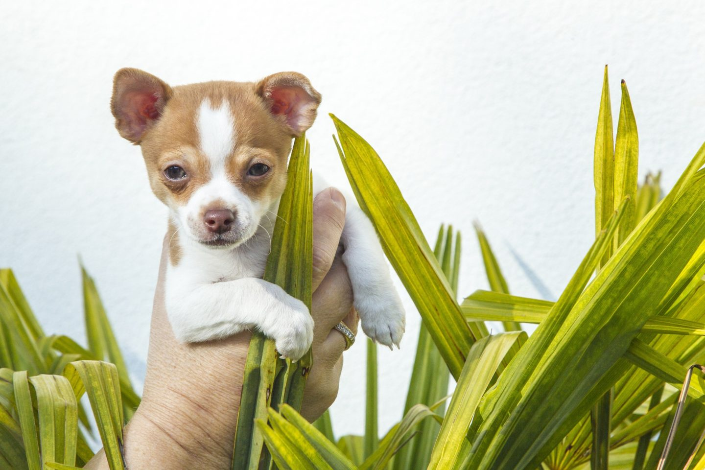 Can My Chihuahua get hayfever? Hayfever Symptoms in Dogs