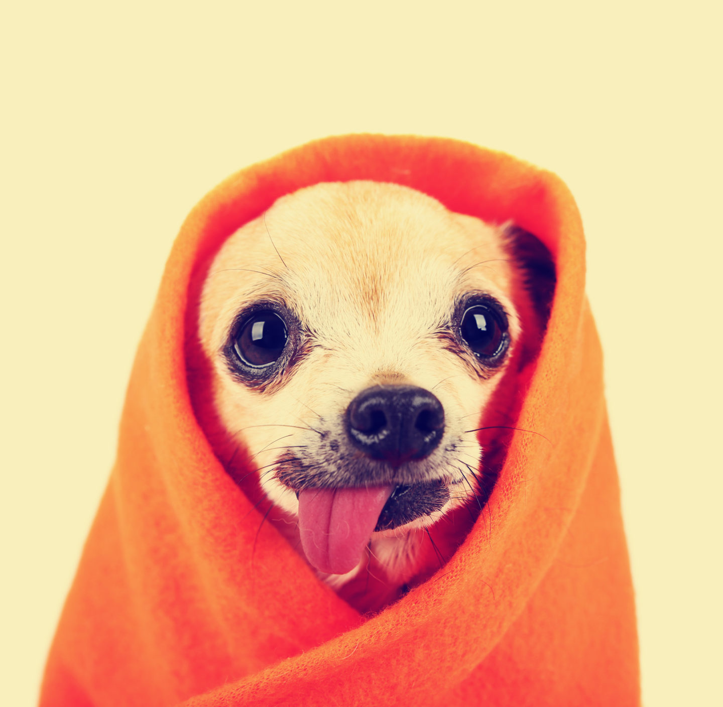 Chihuahua Health: What is hanging tongue syndrome?