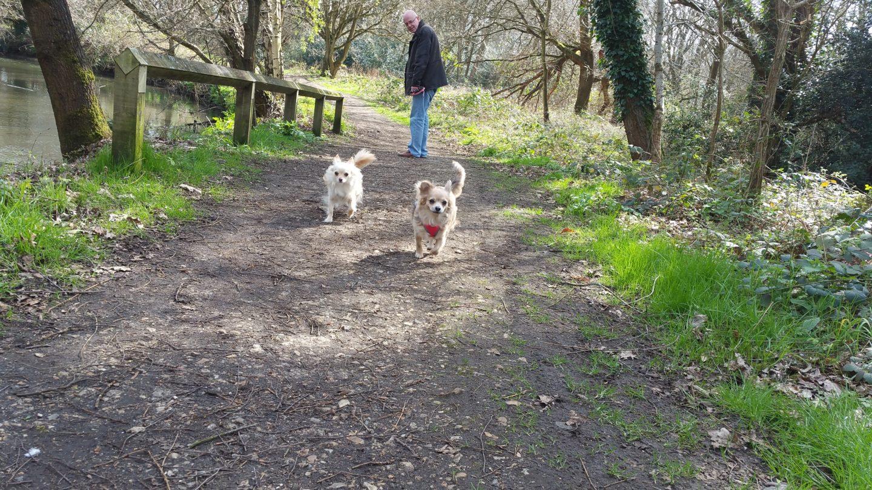 Chihuahua Walk Hawley Meadow  Camberley Surrey