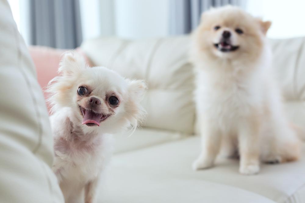 Does Your Chihuahua Smile and Laugh?
