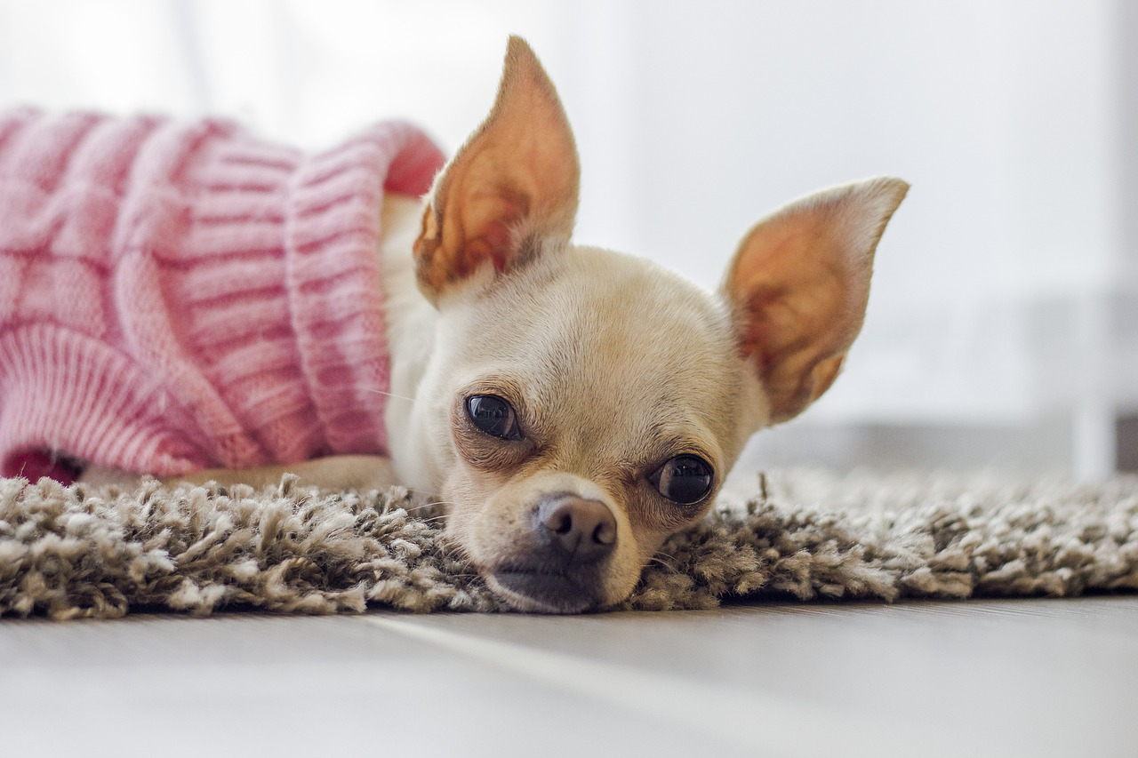 Why is my chihuahua shivering?