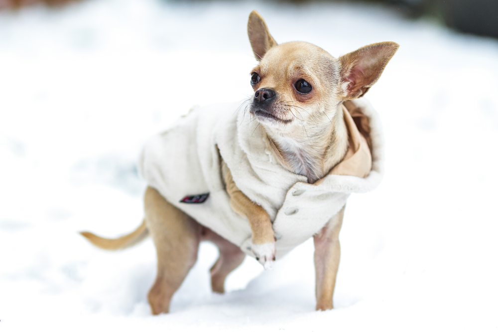 Winter Ready Chihuahua.