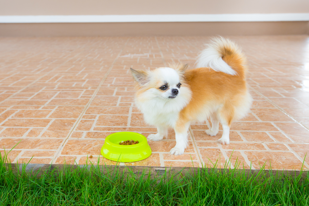 Review of Butternut Box for your Chihuahua
