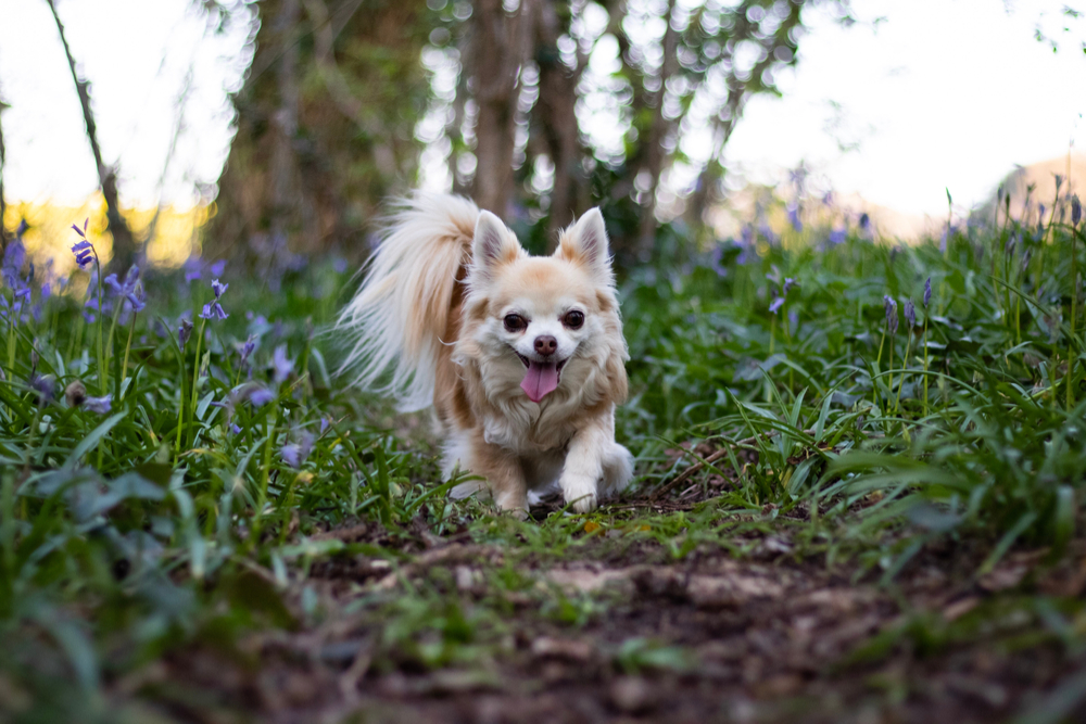 Alabama rot: What this means for your chihuahua