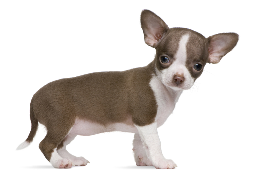 9 things you must do with your chihuahua puppy from the off!