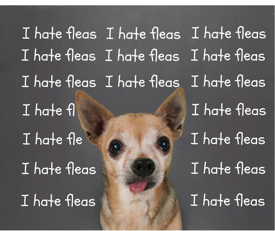 Dealing with dog flea allergy dermatitis