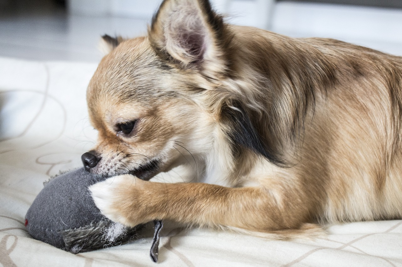 Can my chihuahua catch cold or flu from me?