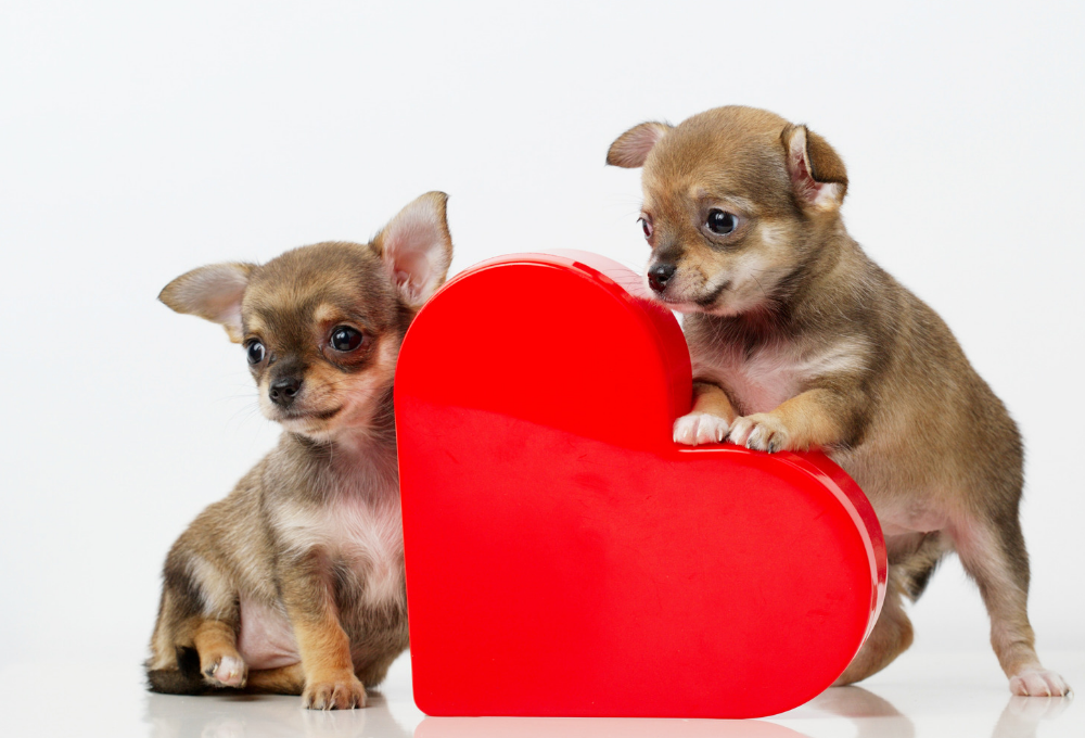 Preventing heart disease in chihuahuas