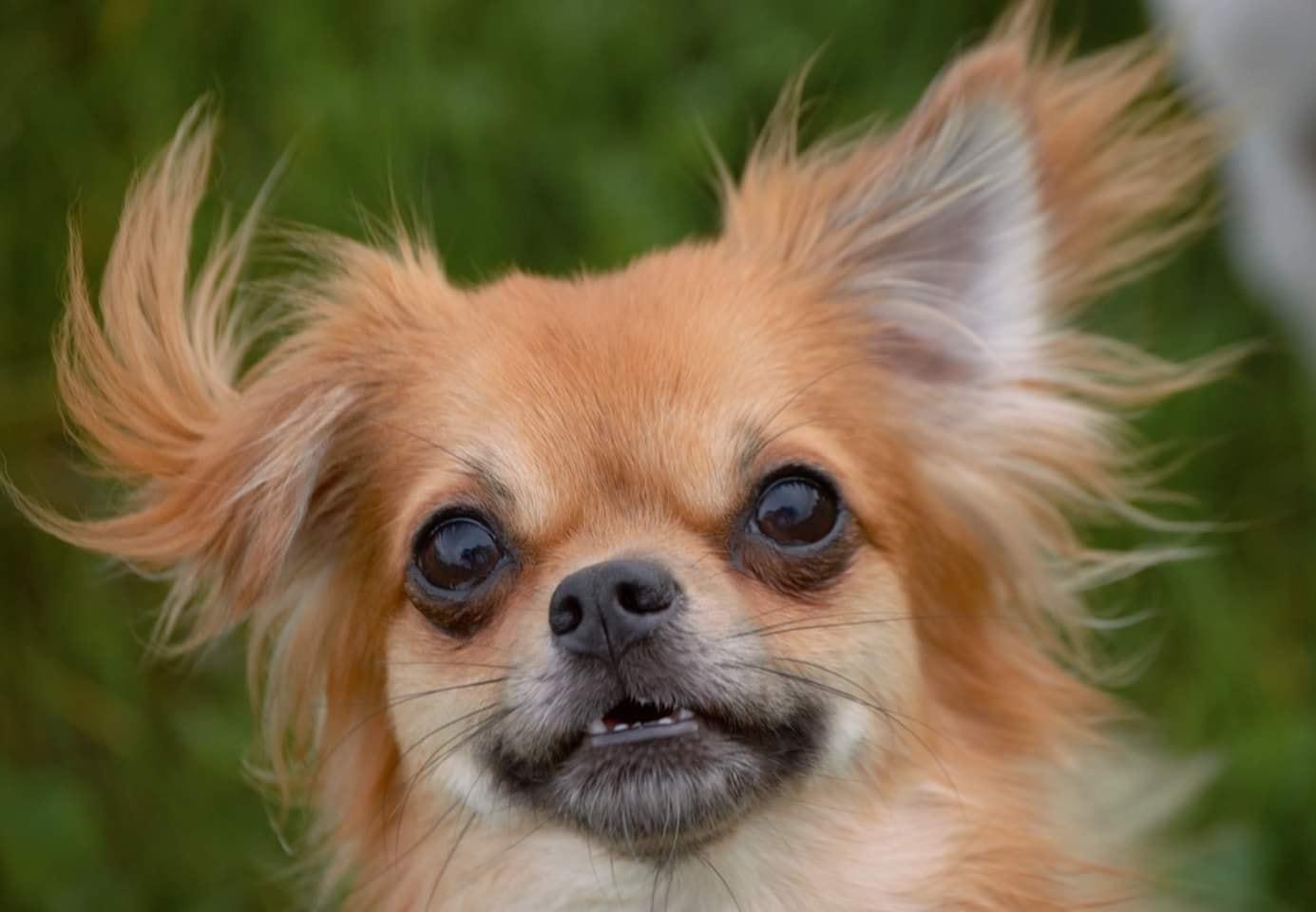 Brachycephalic Airway Syndrome and Chihuahuas
