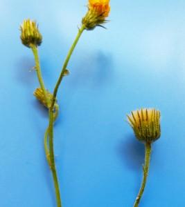 Hieracium spp