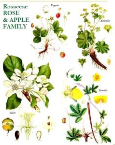 Lena Struwe Rosaceae 2