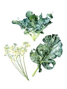 Broccoli 42cm x 29.7cm J R Shepherd