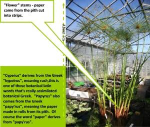 Cyperus-intro-s5