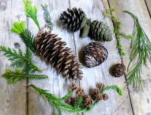 A smorgasbord of Conifers!