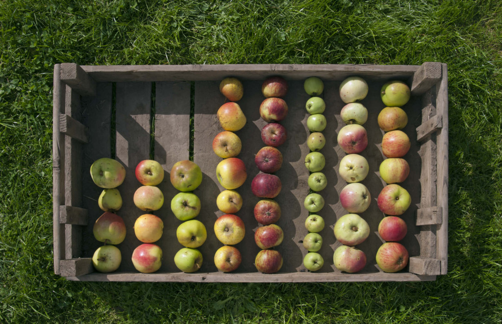 A plate of cider apples. (l to r) 'Perthyre', 'Broom Apple', 'Monmouth Green', 'Pen Caled', 'Frederick', 'Upright French', 'Twyn-y-Sheriff' and 'Cadwallader' at Raglan Cider Mill, Wales