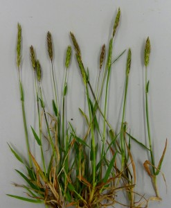 6. Sweet Vernal-grass