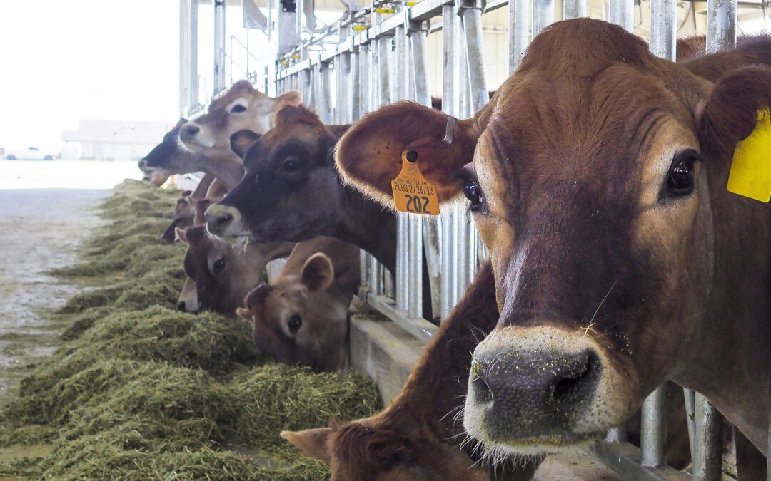OSU dairy research improves production for industry