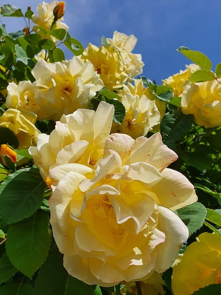 Magnifique rose jaune