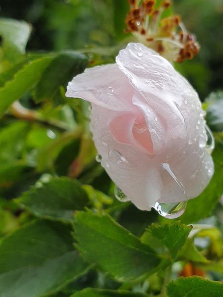 Rose et sa goutte d'eau