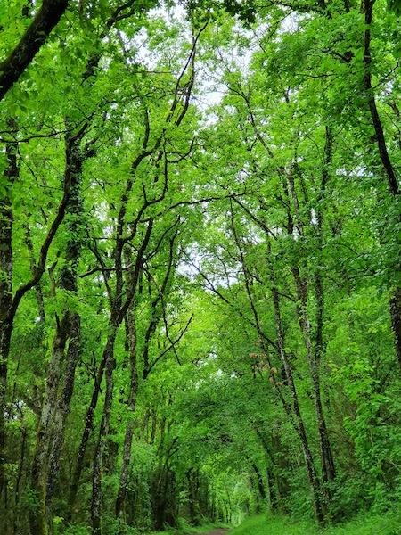 Forêt cathédrale