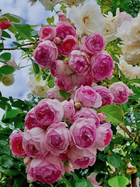 Merveilleuses roses roses