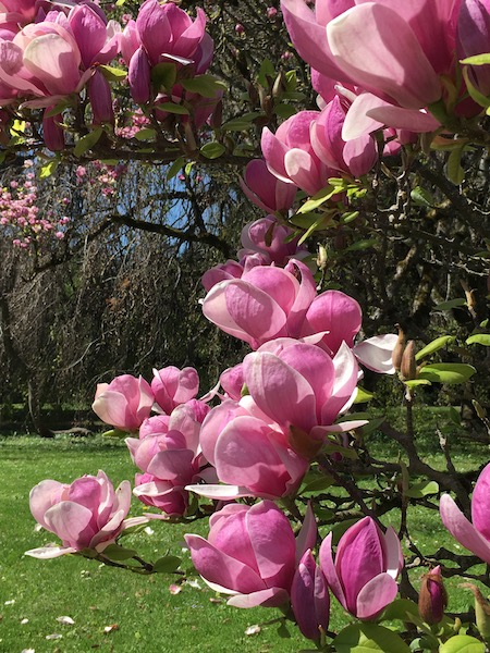 Magnolias au printemps, jardin