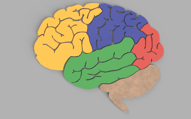 Biology   The Human Brain Puzzle