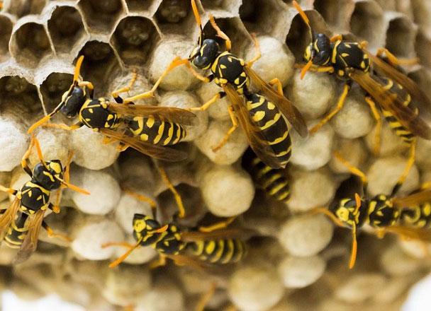 Wasp-Nest-Pic-v1