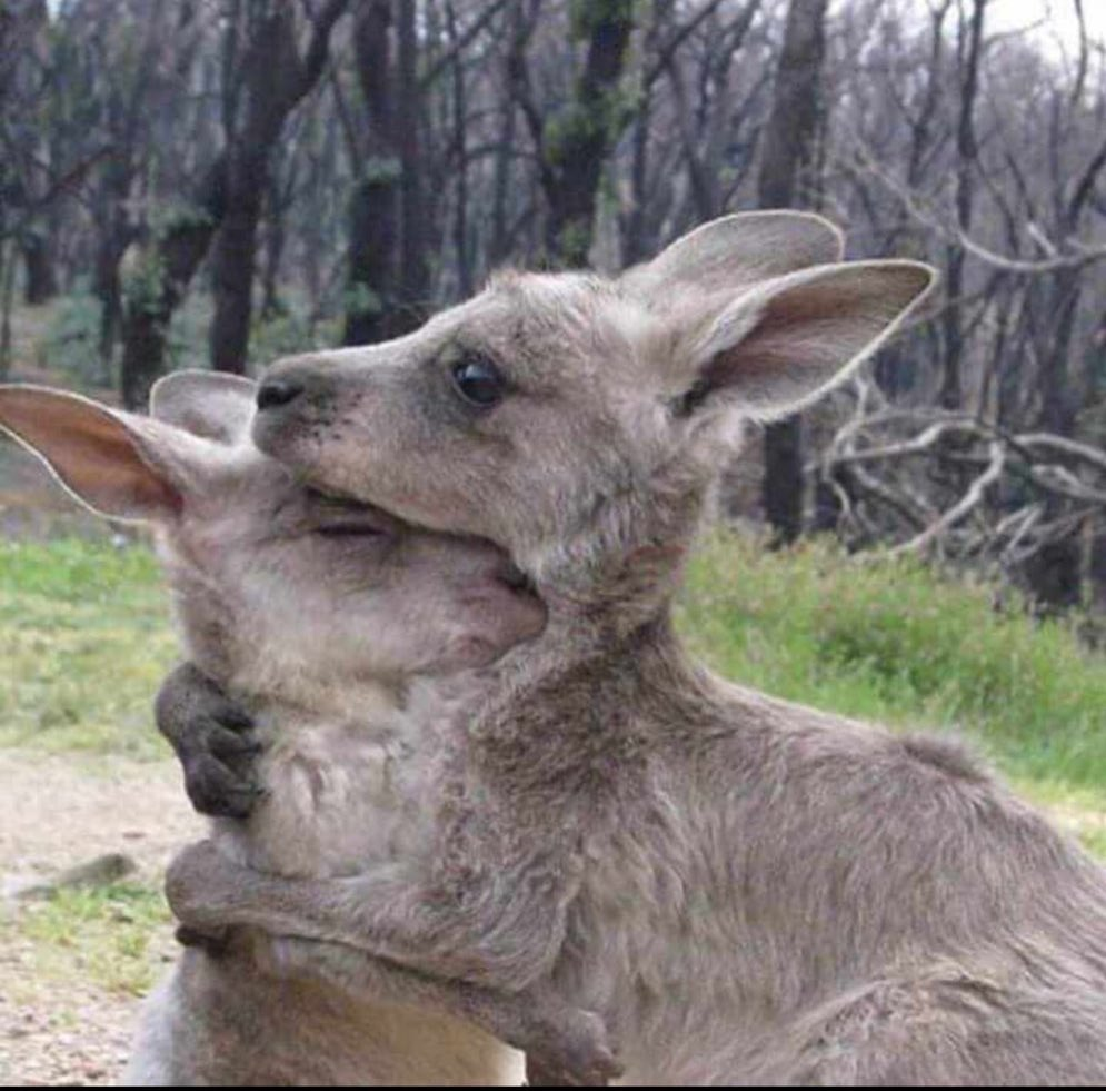 Two kangaroos are hugging. Images like these are stirring up sad responses from around the world.