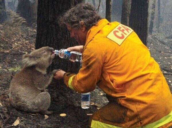 A thirsty Koala